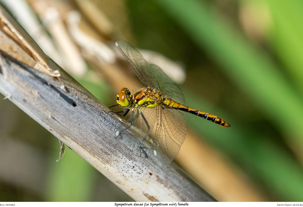 Huez entre flore et libellules Sympet17