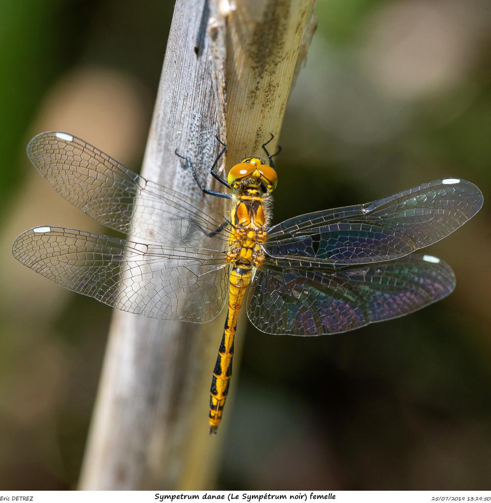 Huez entre flore et libellules Sympet18