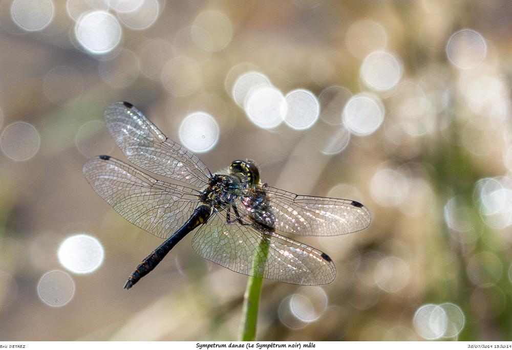 Huez entre flore et libellules Sympet19