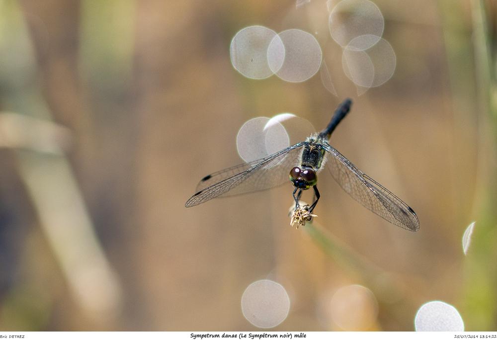 Huez entre flore et libellules Sympet20