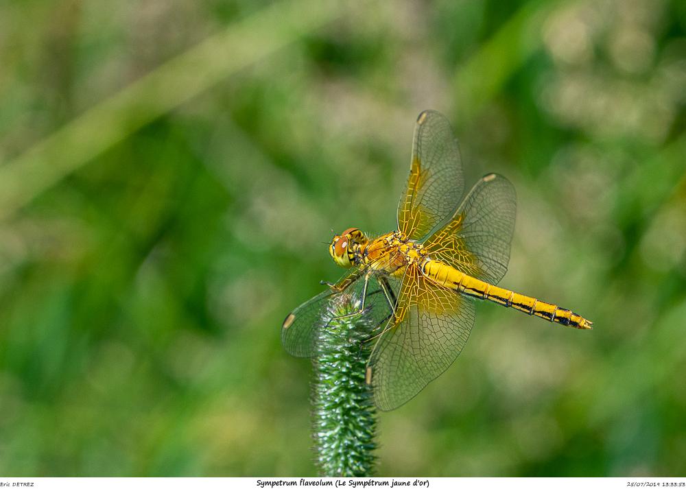 Huez entre flore et libellules Sympet22