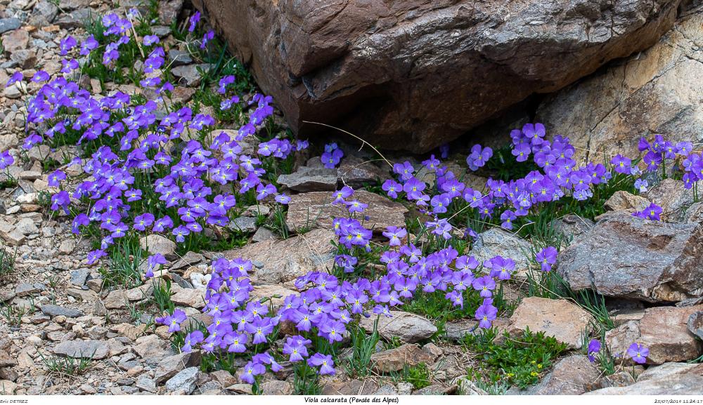 Huez entre flore et libellules Viola_15