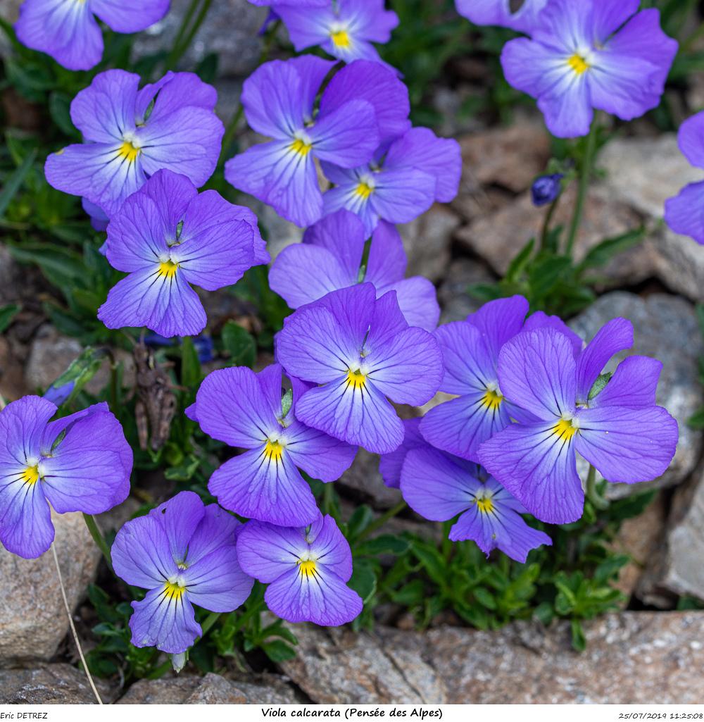 Huez entre flore et libellules Viola_16
