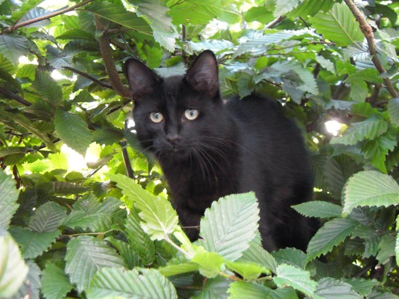 Perdu HELMO chat noir à 35830 BETTON (AVRIL 2013) 2012_013