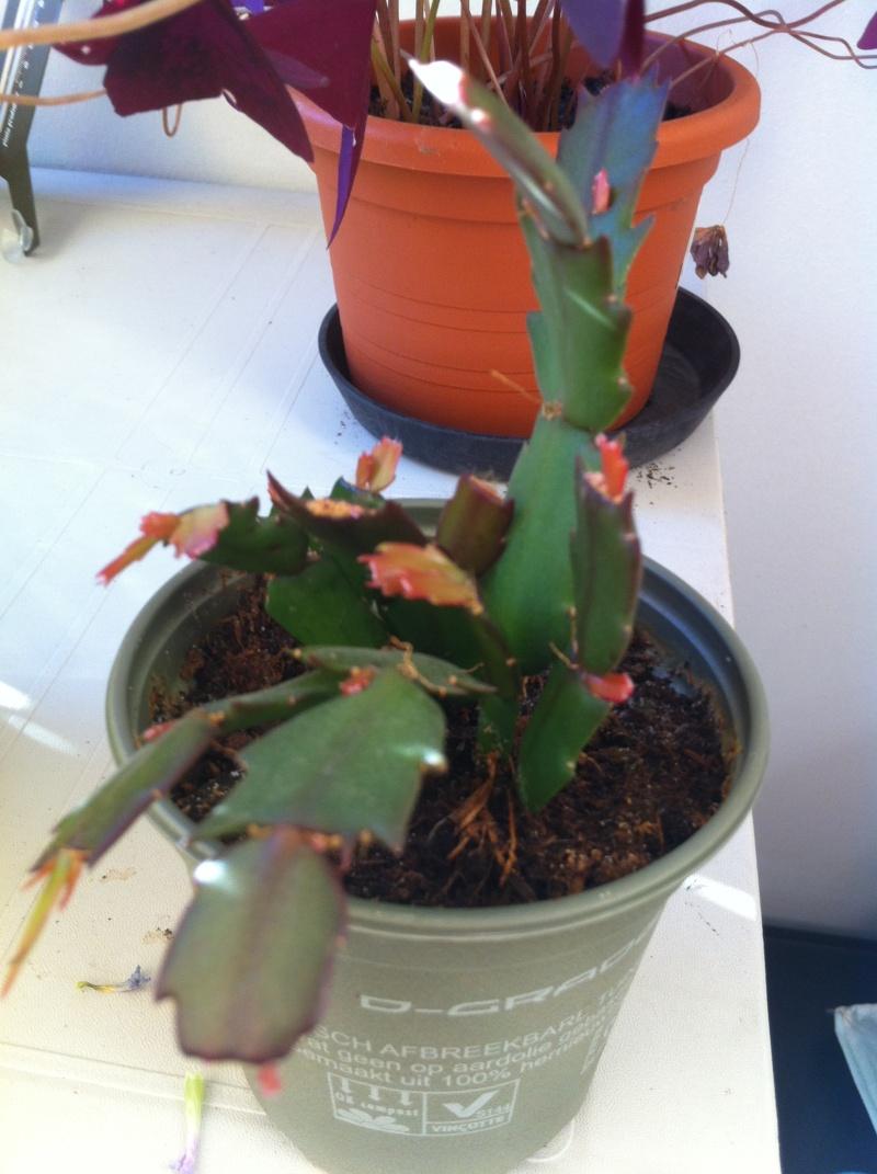 Ma bouture de mon cactus de noël (SCHLUMBERGERA) 2012-020