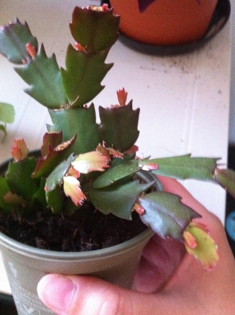 Ma bouture de mon cactus de noël (SCHLUMBERGERA) 2012-026