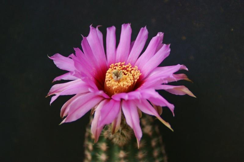 Echinocereus reichenbachii ssp. reichenbachii var. baileyi Echino22