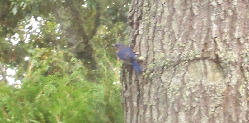 Bluebirds playing around Photo_12