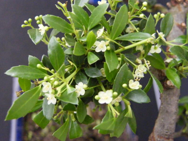 bonsai fleuri qui es tu ? Carmona microphylla Dscf7712