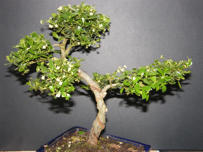 bonsai fleuri qui es tu ? Carmona microphylla Dscf7713