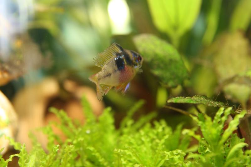 aquarium 120L amazonien... Photo_14