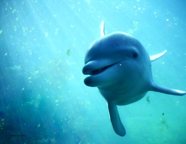 Les dauphins et les orques Dolphi10
