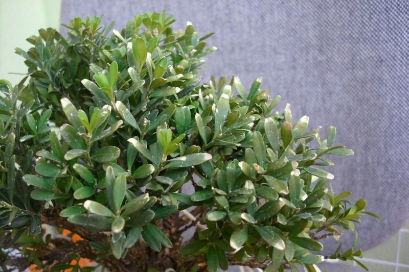 Harland boxwood - yellow leaves Img_1712