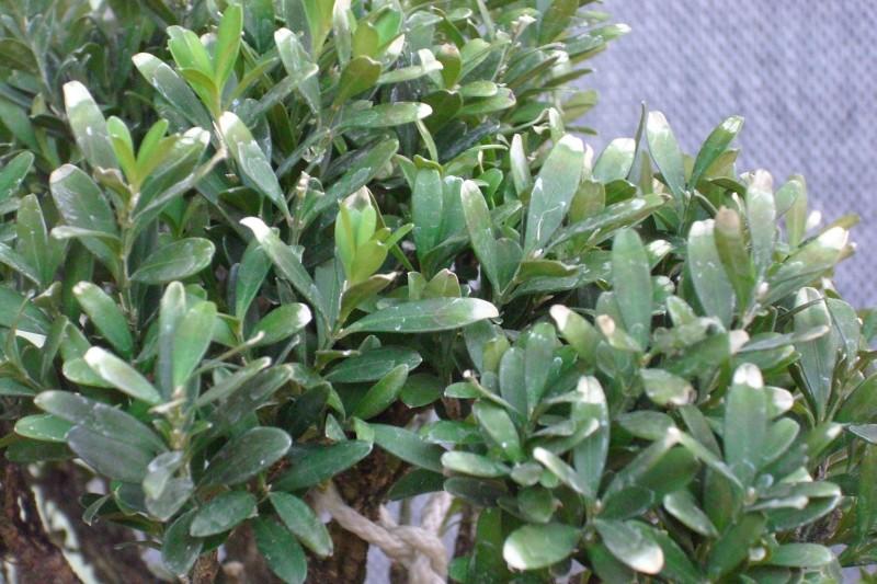 Harland boxwood - yellow leaves Img_1713