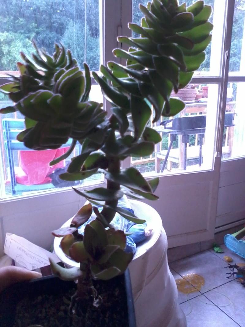 identification succulente ![crassula coccinea] 20120811