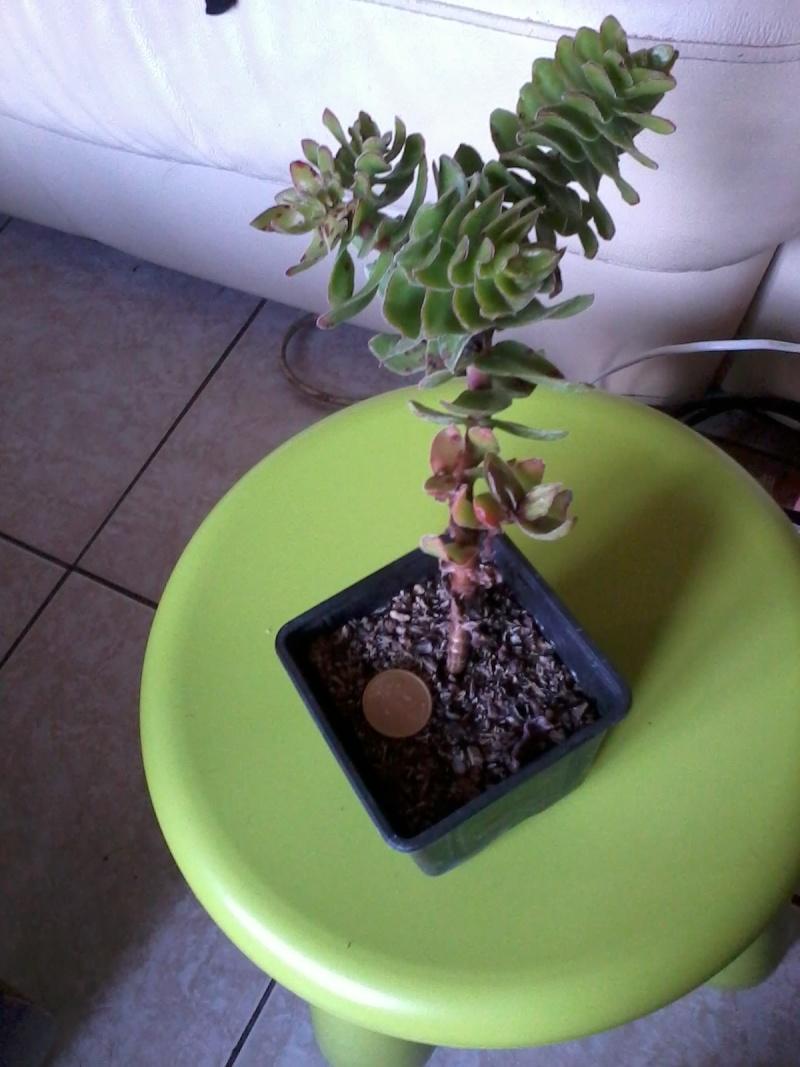 identification succulente ![crassula coccinea] 20120812