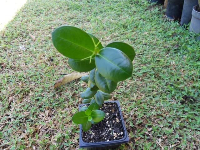 Carissa macrocarpa - prunier du Natal Sdc15612