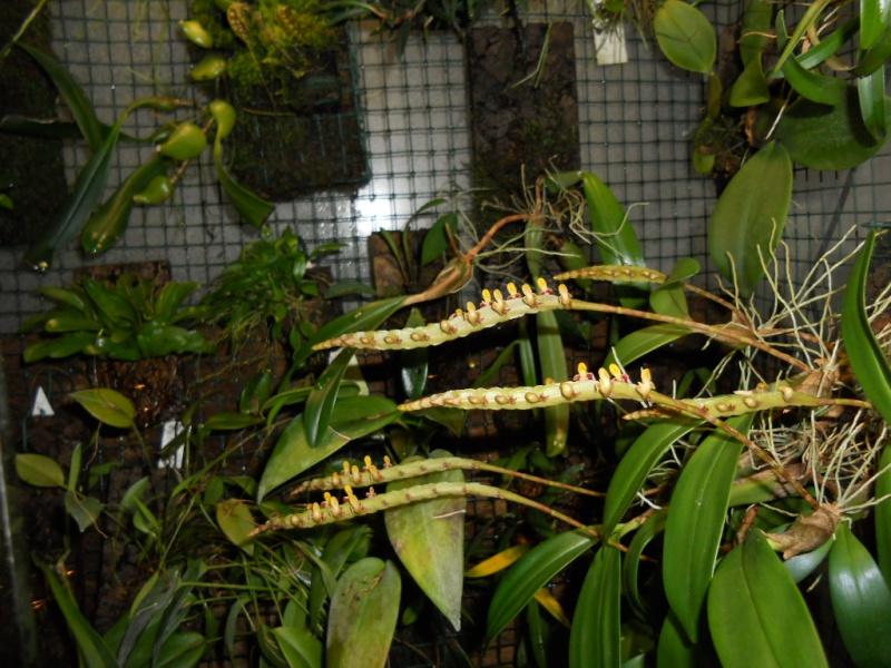Bulbophyllum A_bulb10
