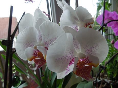 Mit welche Orchidee am besten anfangen? Gespr_12