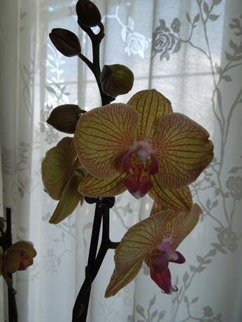 Mit welche Orchidee am besten anfangen? Neue_o10