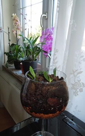 Phalaenopsis Hybrid Sämlinge  Orchi_10