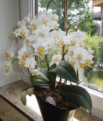 Welche Orchidee ist das? Orchid16
