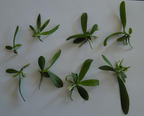 Phalaenopsis Hybrid Sämlinge  Phalae10