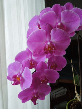 Mit welche Orchidee am besten anfangen? Pinke_12