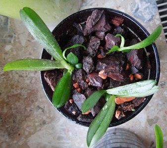 Phalaenopsis neu topfen Samlin10
