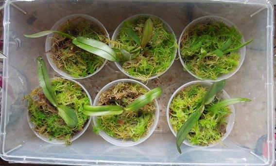 Phalaenopsis neu topfen Samlin11