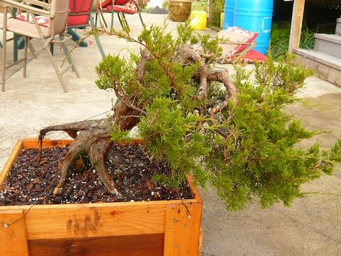 Collecting Eastern Red Cedar Juniperus Virginiana