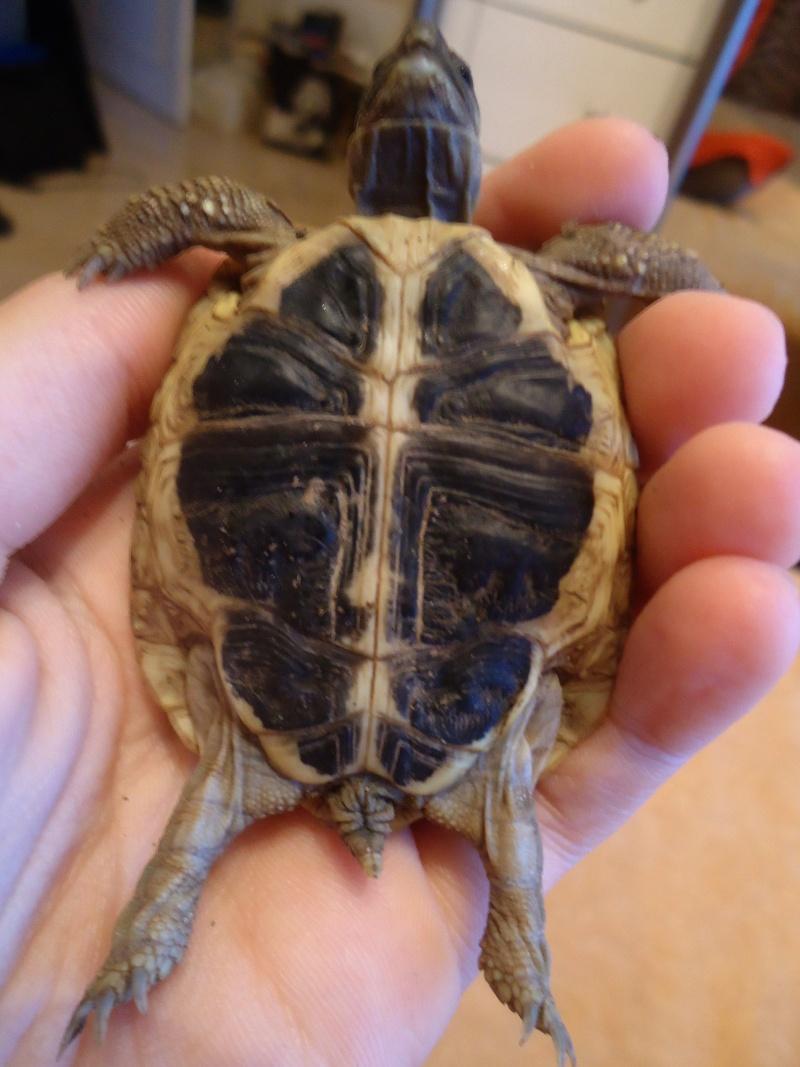 Petite tortue Hermann, mâle ou femelle ?  Dsc06111