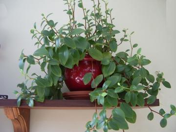 Identification d'une plante retombantes à feuilles vertes et tige rose Plante10