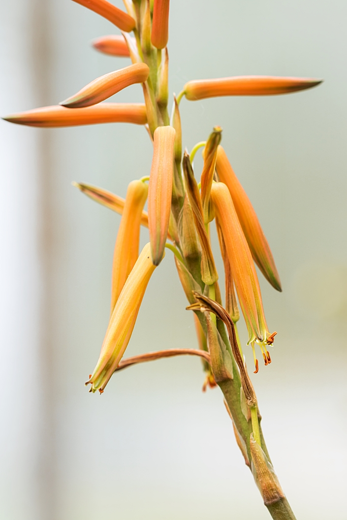 Aloe brevifolia Aloe_b11