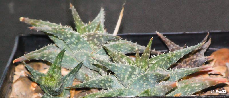 Aloe descoingsii Aloe_d10