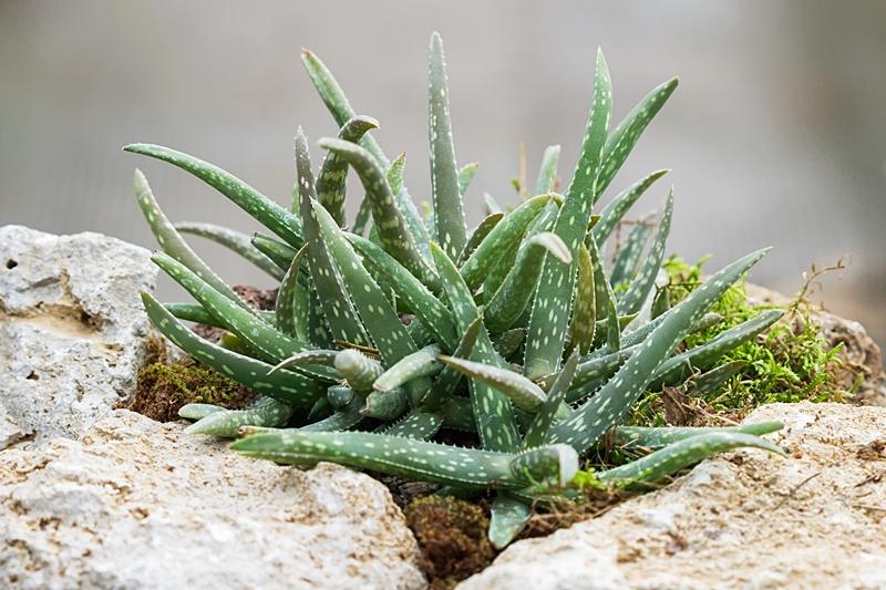 Aloe jacksonii Aloe_j10