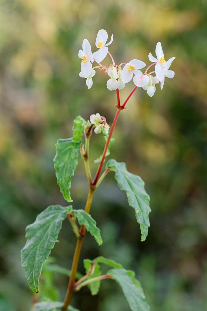 Begonia - Begonien - Seite 5 Begoni16