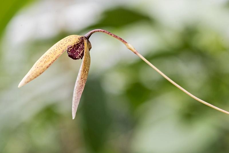 Bulbophyllum elassoglossum Bulbop16
