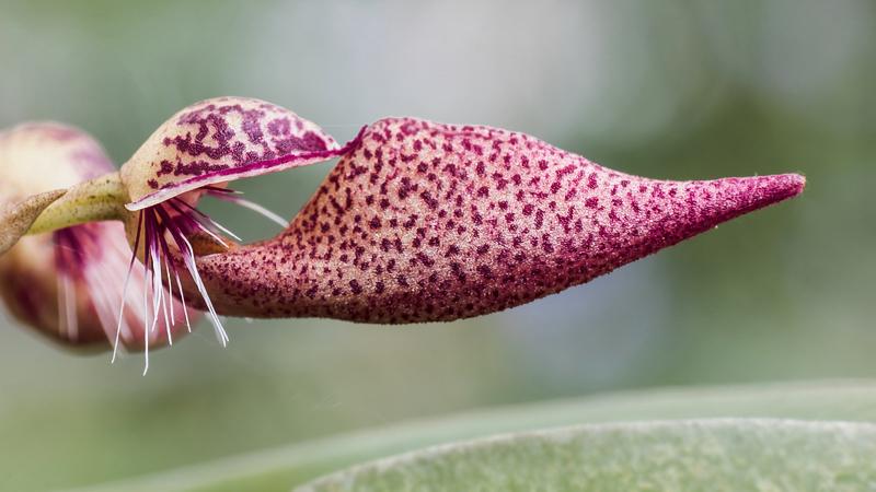 Makroaufnahmen von Miniaturorchideen Bulbop20