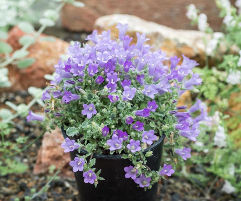 Glockenblumengewächse (Campanulaceae) - Seite 2 Campan10