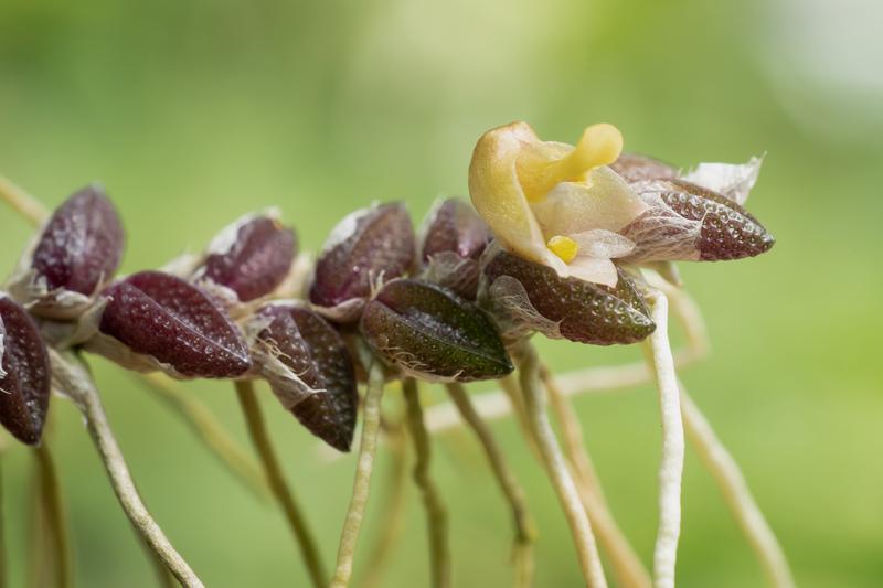 Makroaufnahmen von Miniaturorchideen - Seite 4 Dendro28
