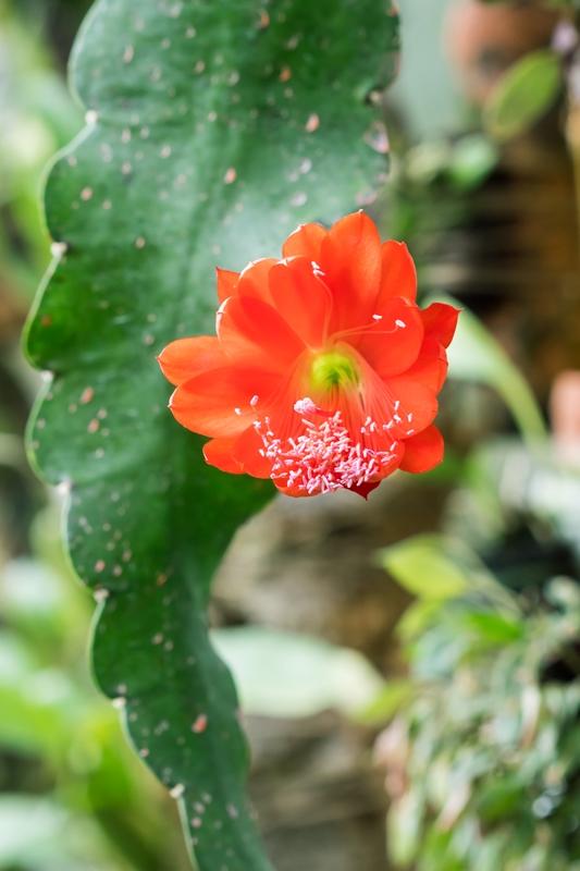 Disocactus ackermannii ssp. conzattianus Disoca10