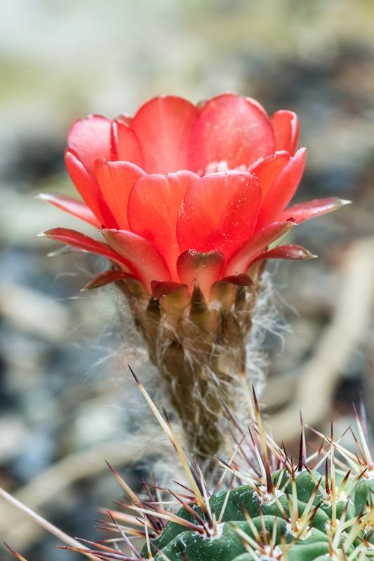 Echinopsis aurea 'Dobeana' Echino10