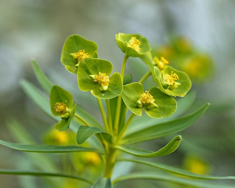 Wolfsmilchgewächse (Euphorbiaceae) - alle Nichtsukkulenten - Seite 3 Euphor15