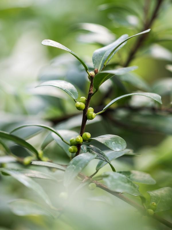 Maulbeergewächse (Moraceae) - Seite 10 Ficus_10