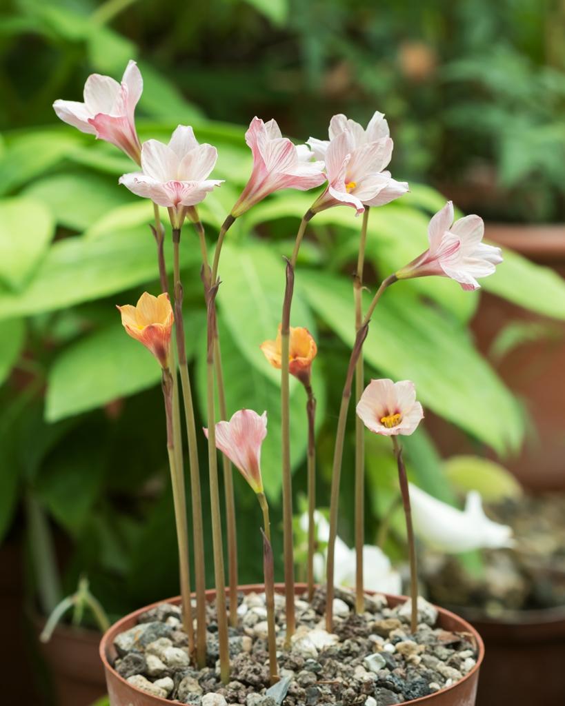 Amaryllisgewächse - Amaryllidaceae (Hippeastren, Nerine, Amaryllis, Agapanthus und auch Allium & Narzissen) - Seite 59 Habran10