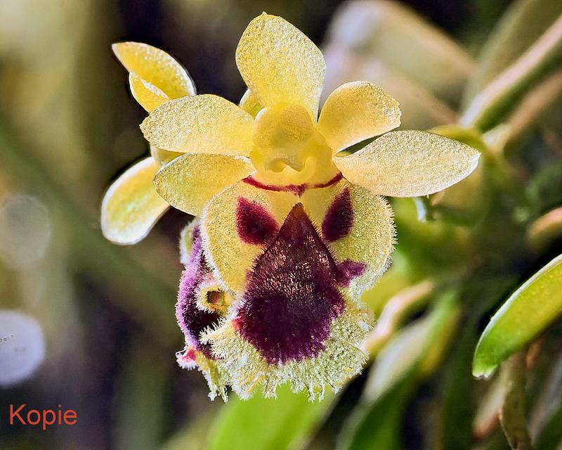 Makroaufnahmen von Miniaturorchideen Harell10