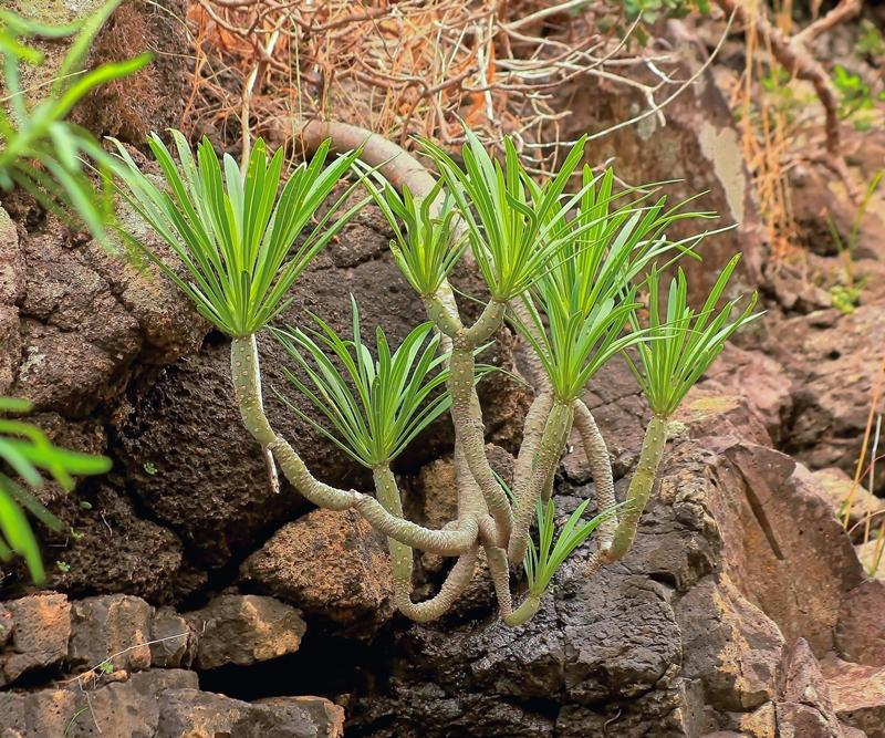 Kleinia neriifolia Kleini10