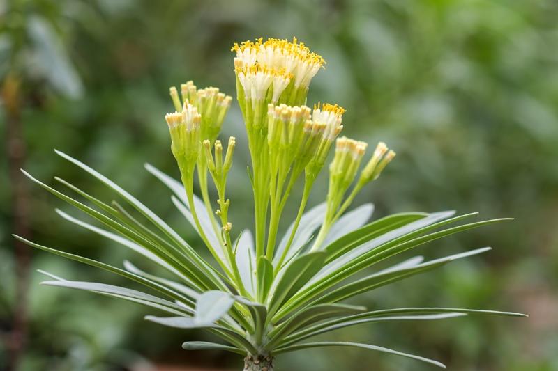 Kleinia neriifolia Kleini11