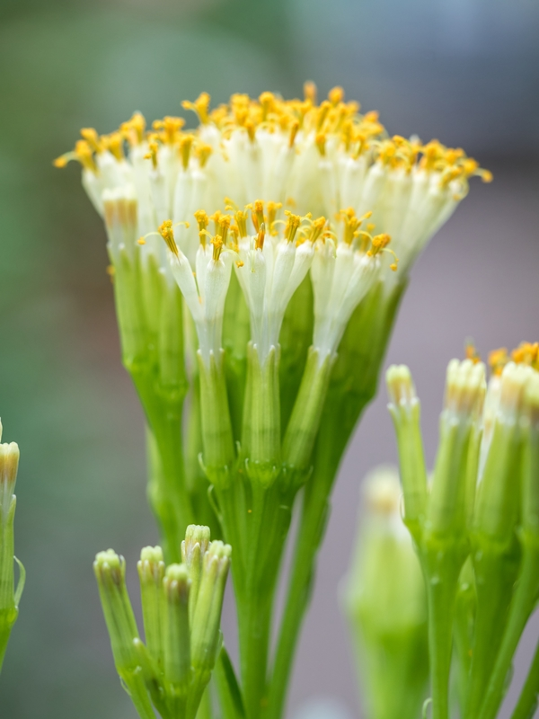 Kleinia neriifolia Kleini12